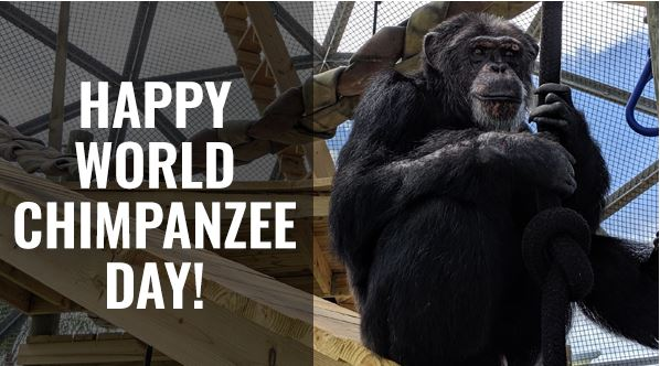 World chimpanzee day 2021 - Date, History, Importance, Objectives, Significance, Theme, Facts about Chimpanzee